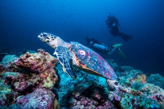 Swimming with turtles (image courtesy of Emperor Maldives)