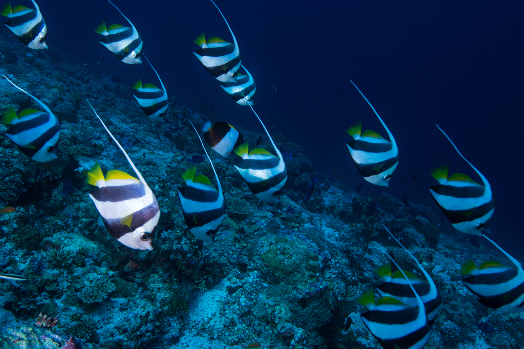 Marine life in The Maldives (image courtesy of Emperor Maldives)
