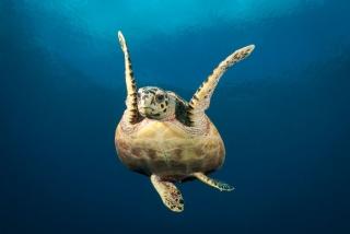 A very happy turtle! (Image courtesy of Emperor Maldives)