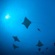 Mantas in The Maldives (image courtesy of Emperor Maldives)