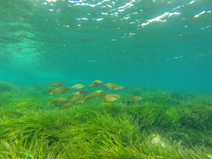 Sea grass Formentera UNESCO