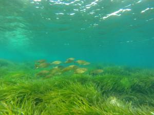 Sea grass Formentera UNESCO